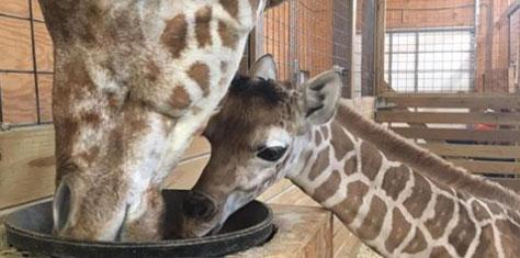 April giraffe baby name revealed 1