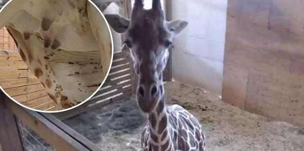 April pregnant giraffe giving birth 5