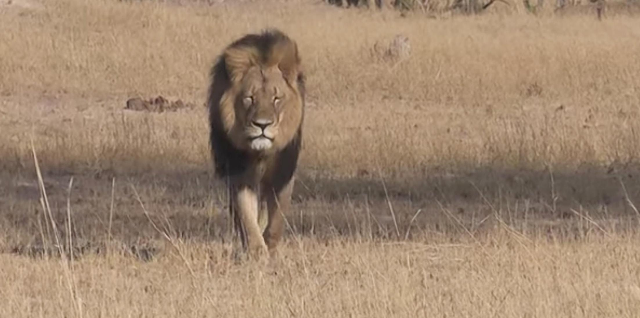 Cecil the lion son shot by hunter h
