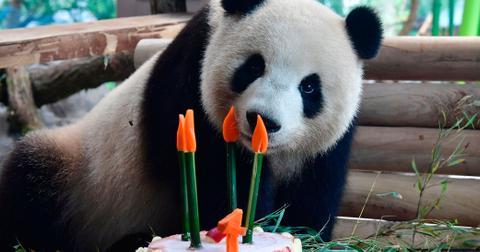 Zoo sex female panda wide