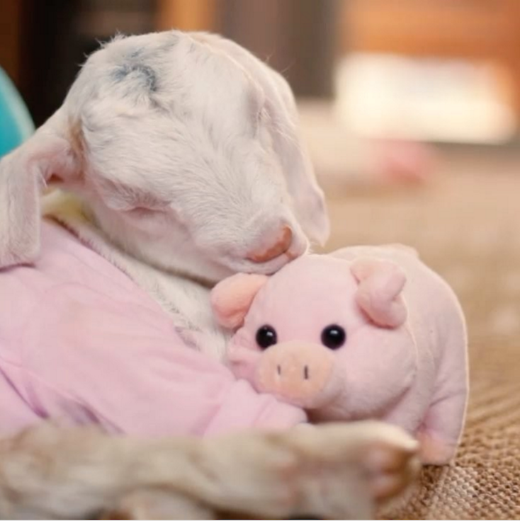 Goat pig cuddle viral video melts heart love 2