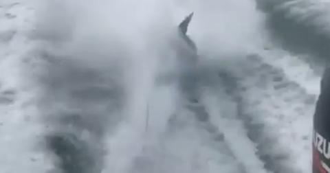 People losing it over video of shark being dragged by speeding boat hero