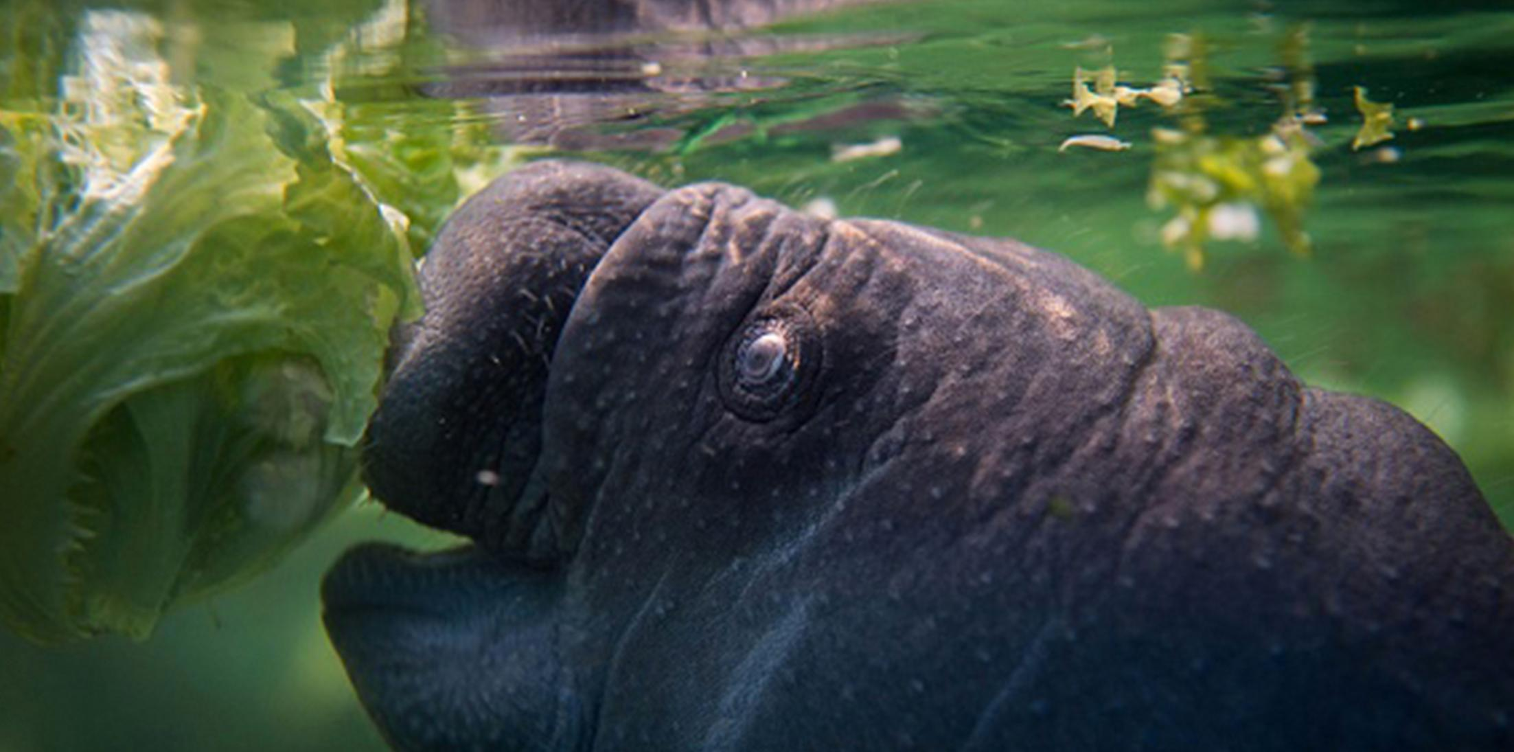 Florida man tortures manatees video feature
