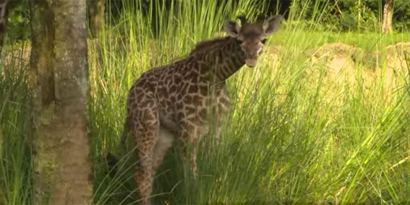 Baby aella giraffe born disney animal kingdom main