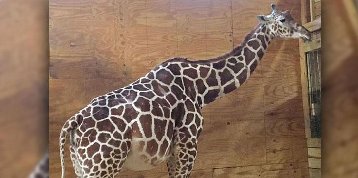 April pregnant giraffe giving birth belly bulging ok hero