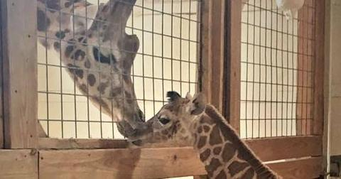 April giraffe injured after giving birth 1