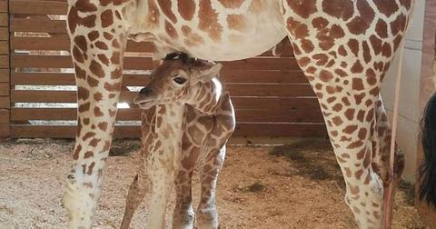 April giraffe baby name announced